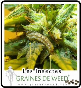 chenilles-cannabis
