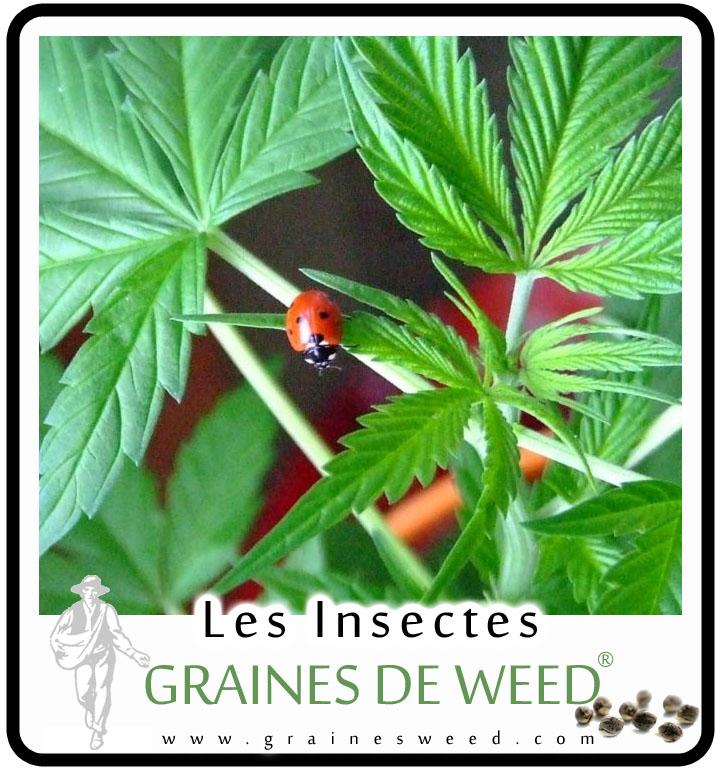 traitements biologiques pour le cannabis graines de