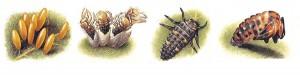 Les larves de la coccinelle mangent les pucerons