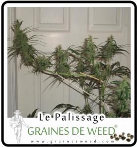 courber-pousse-cannabis