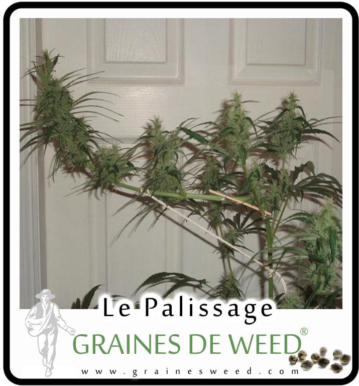 Le palissage de cannabis – Graines de Weed