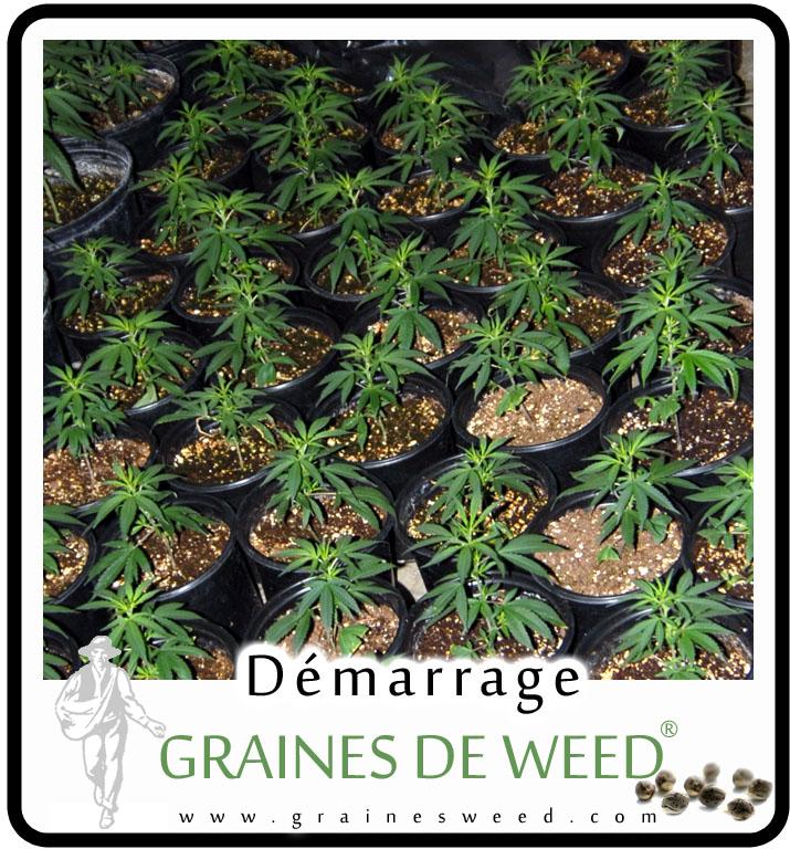 La plupart des cultivateurs font démarrer le cannabis par pot