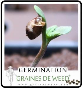 germer les semences