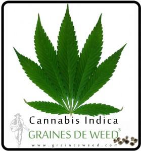 Une feuille de Cannabis Indica