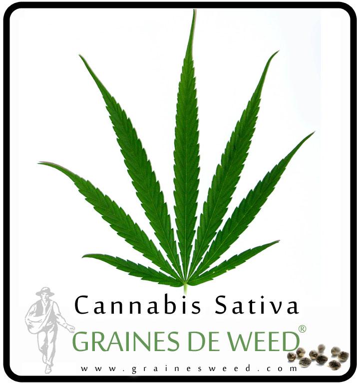 Une feuille de Cannabis Sativa