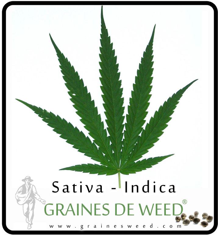 Une feuille d'une variété mélangée Cannabis Sativa et Cannabis Indica