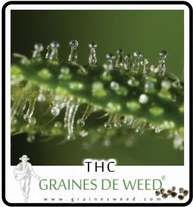 Cannabis la plus puissant