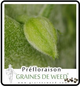 Pré-fleur cannabis mâle, proche