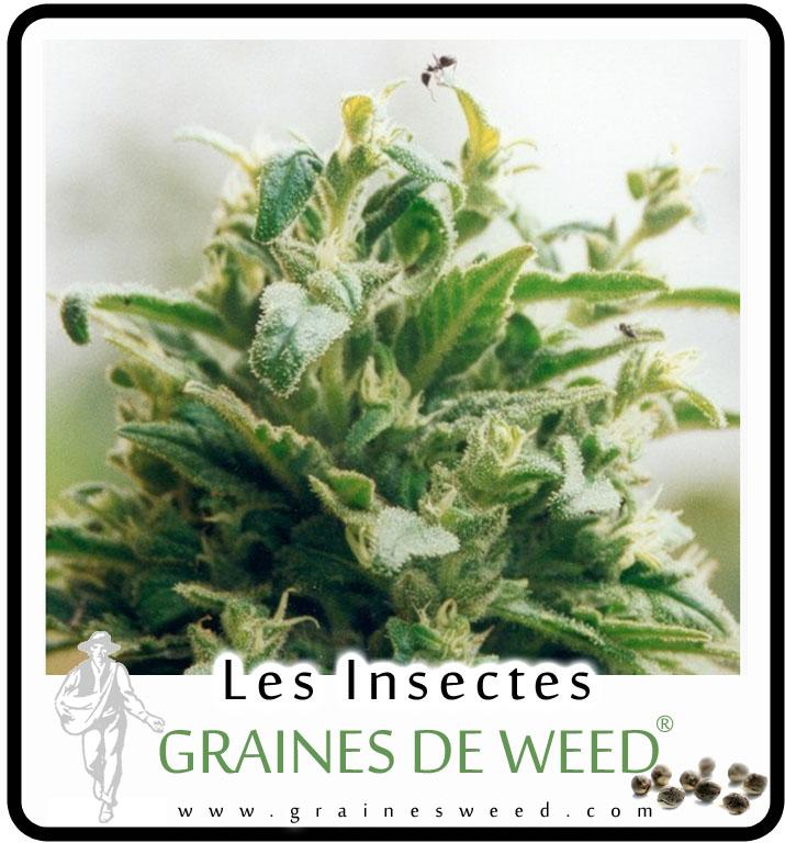 Les insectes sur le cannabis graines de weed for Vers dans les plantes