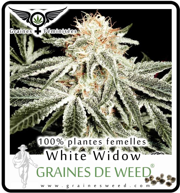 Graine femelle de white widow graines de weed for Graine de weed exterieur
