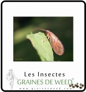 L'hémérobe est aussi un contrôle biologique efficace pour les mites.