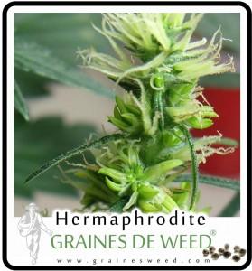 Hermaphrodite: fleurs mâles et femelles ensemble