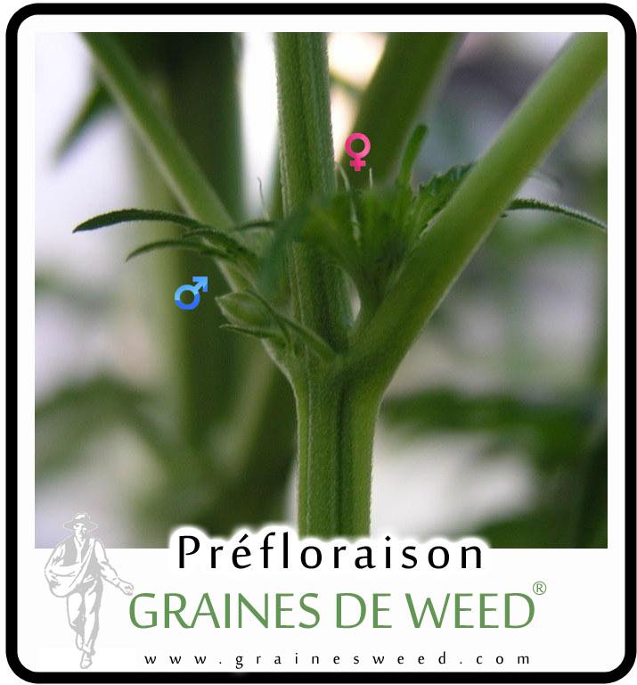 Plante de marijuana m le ou femelle graines de weed - Comment savoir si c est une fausse couche ...