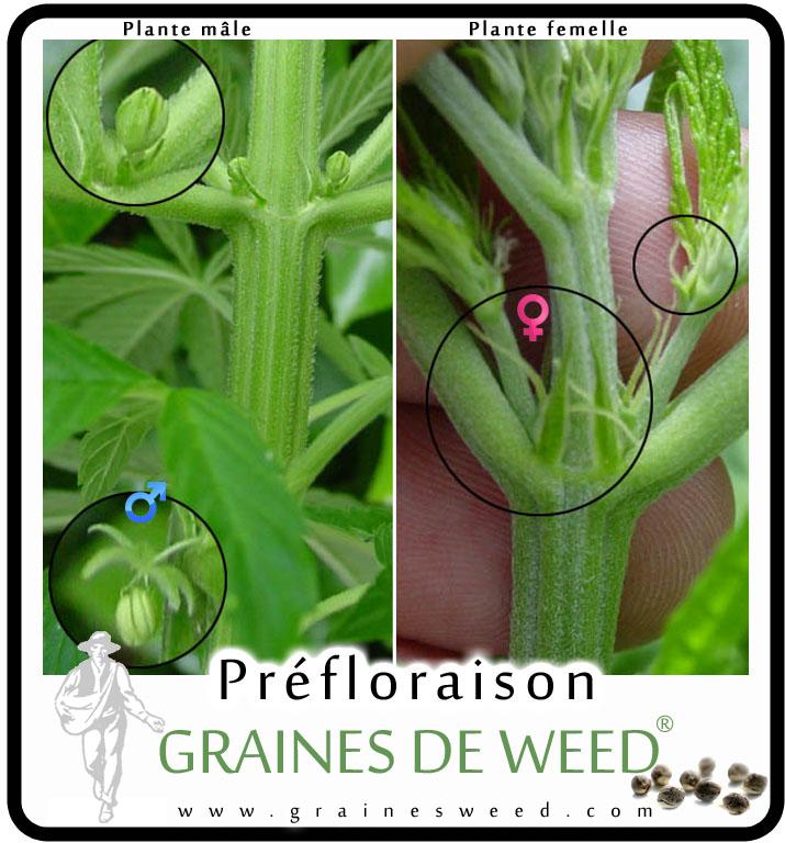Cannabis m le ou femelle graines de weed for Ou planter du cannabis en exterieur