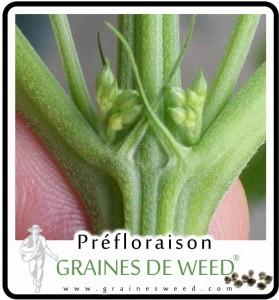 Mâle ou femelle cannabis? Ici on voit la plante masculin