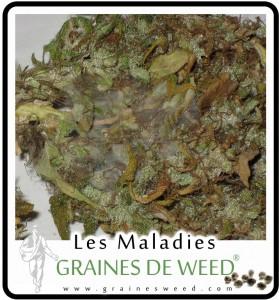 La moisissure des tetes (Botrytis) cannabis