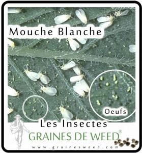 Mouche Blanche: petits papillons