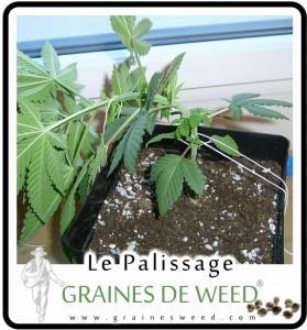 On palisse sa plante (de 2-3 semaines) avec un angle de  70° avec le sol