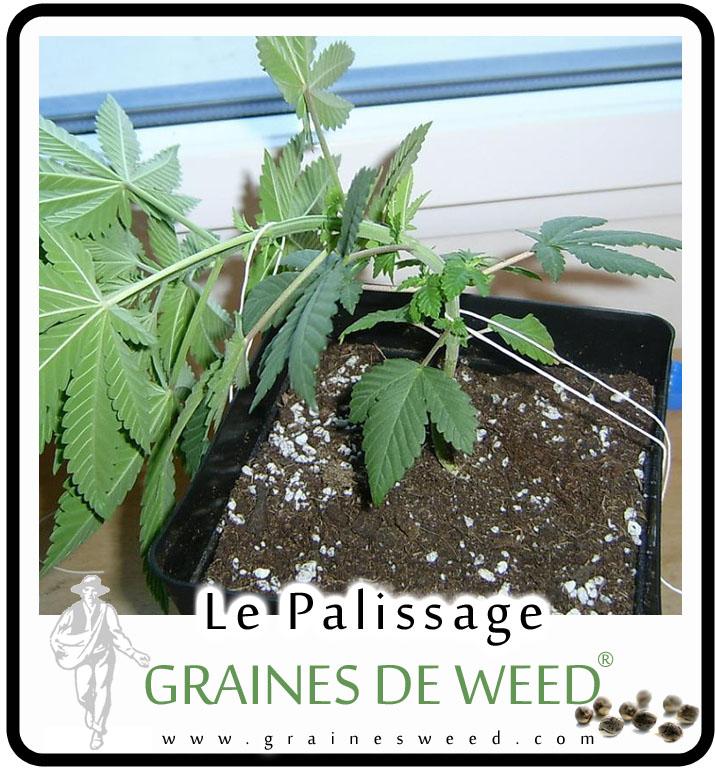 le palissage de cannabis graines de