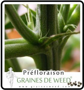 Poils, pistils de la fleur femelle de cannabis