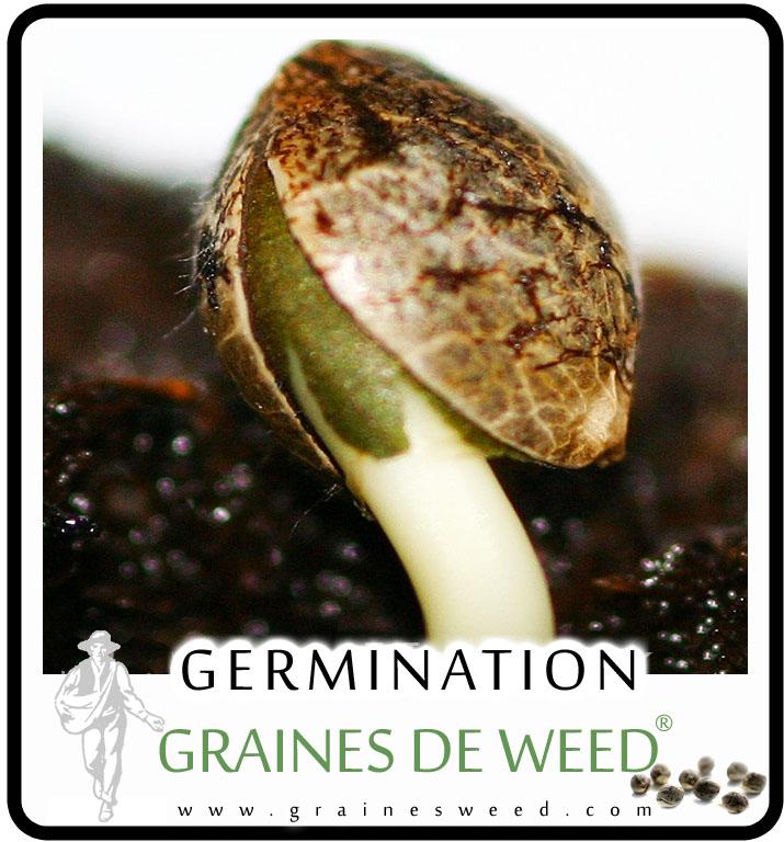 Comment germent les graines de marijuana?