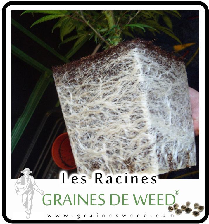 Transplantation de weed graines de weed for Vers dans les plantes
