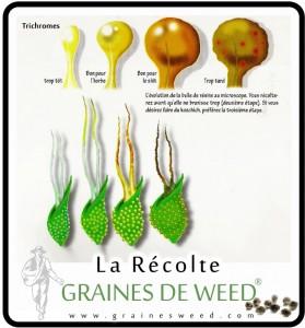 recolte-de-cannabis
