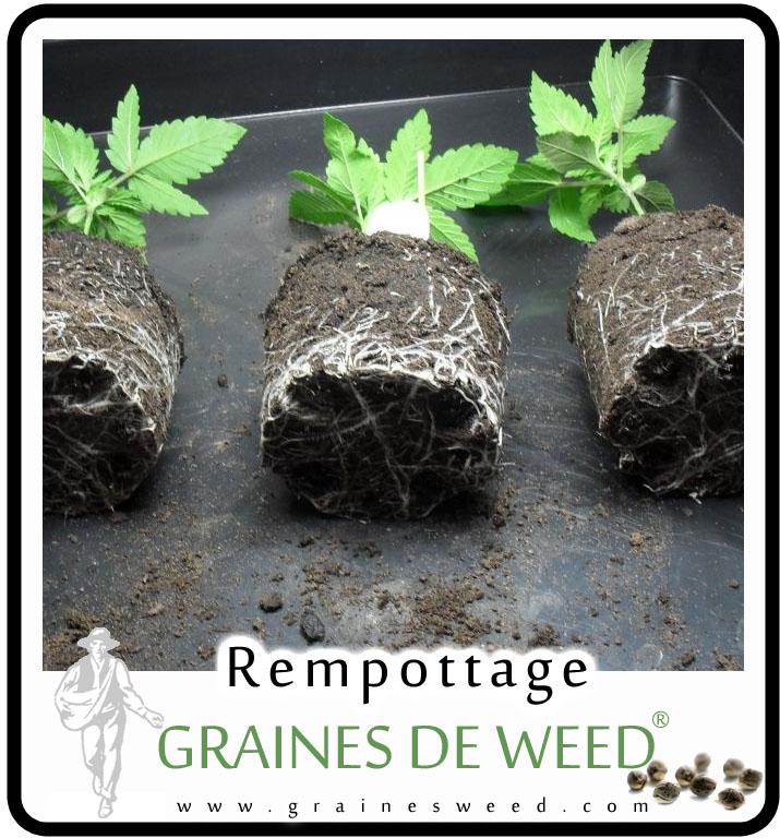 rempotez quand la plante est pleine de racines.