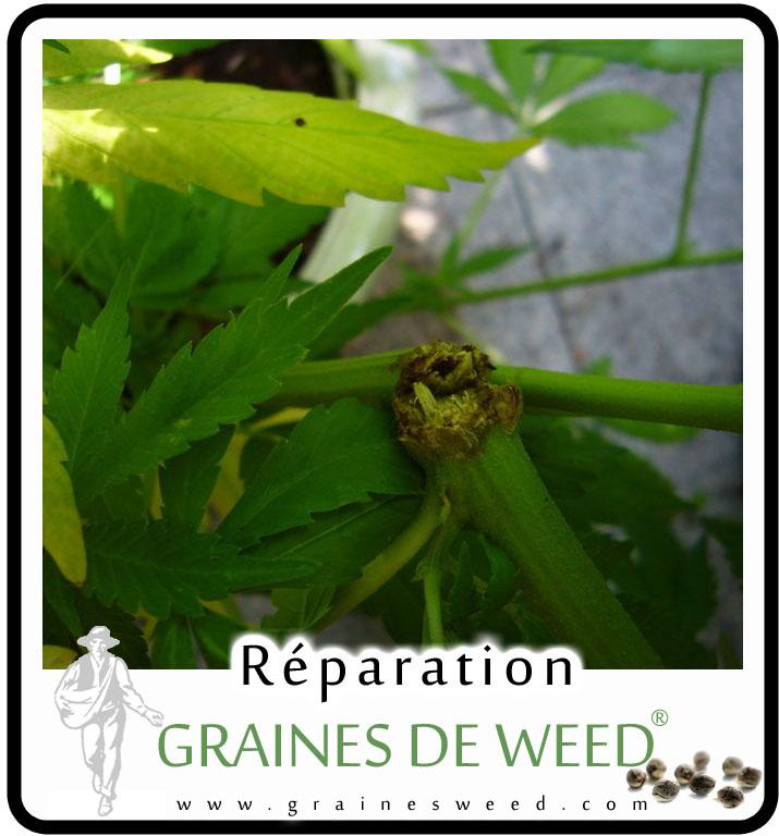 Reparer une branche cassée de weed