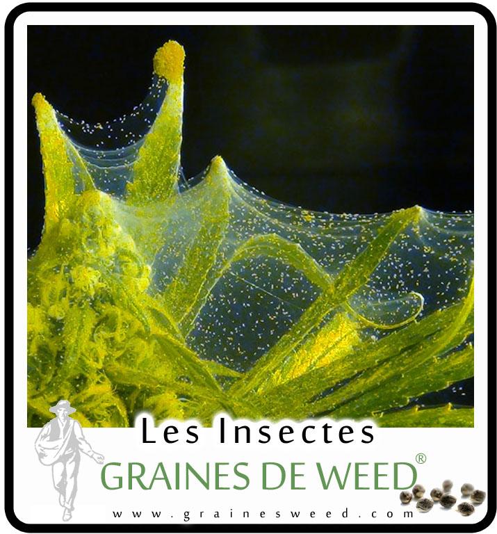 Les insectes sur le cannabis graines de weed for Graine de weed exterieur