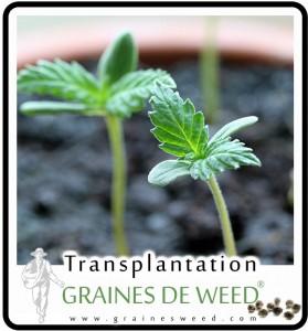 Transplantez une pousse d'un pot à multiples pousses de cannabis pendant les deux premières semaines de croissance.