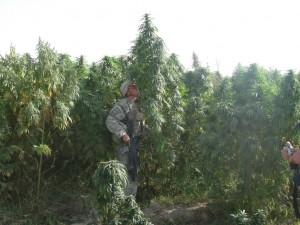 Soldat Americain dans un champs de cannabis Afghane