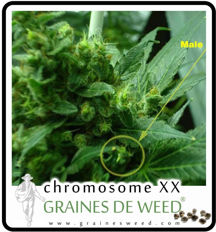 Acheter des graines femelles de cannabis graines de weed for Graine de cannabis femelle interieur