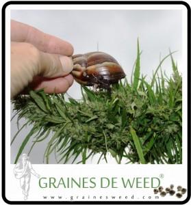 limace-escargot-cannabis