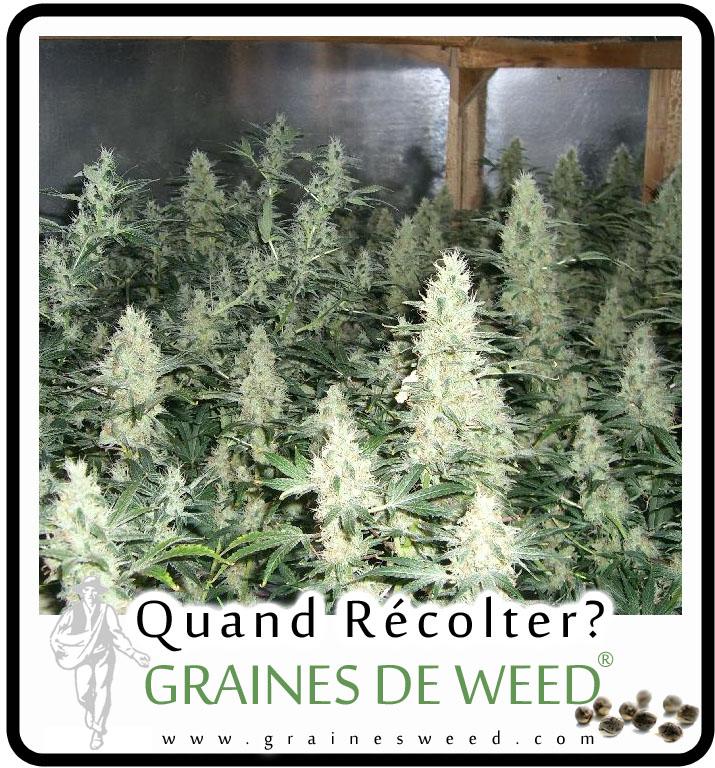 Quand est le cannabis pret a récolter?