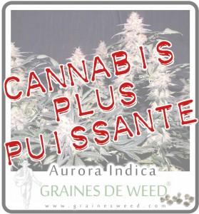 Variété de cannabis la plus forte