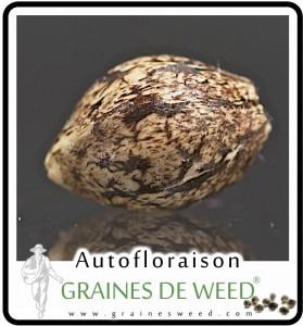 Une graine autofloraison