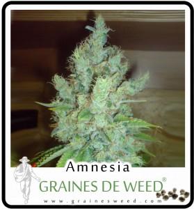 Graines amnesia cannabis