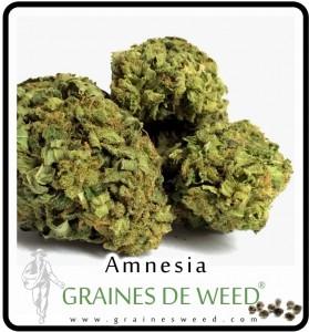 acheter amnesia cannabis