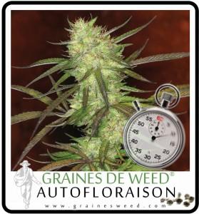 Graines de cannabis autofloraison intérieur