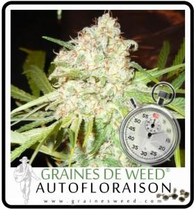 cannabis autofloraison: skunk
