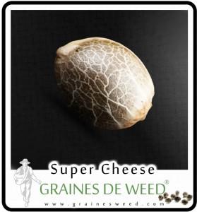 graine de cheese cannabis